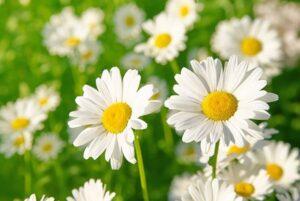 ยาปลูกผมสมุนไพรจากดอกกะเม็ง - Eclipta Alba Extract