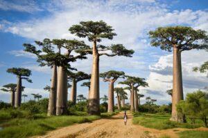 สารอาหารแก้ผมร่วงที่ดีที่สุด Africa Baobab Tree